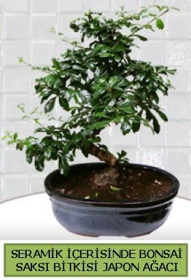 Seramik vazoda bonsai japon ağacı bitkisi  Mardin çiçek siparişi sitesi