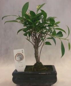 Bonsai japon ağacı bitkisi satışı  Mardin çiçek gönderme sitemiz güvenlidir