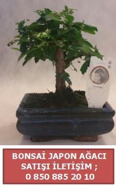 Japon ağacı minyaür bonsai satışı  Mardin çiçek satışı