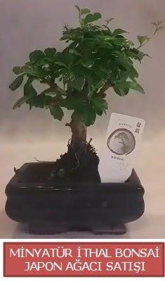 Küçük görsel bonsai japon ağacı bitkisi  Mardin çiçek , çiçekçi , çiçekçilik