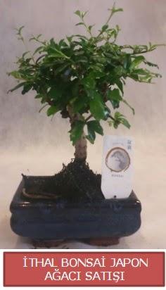 İthal küçük boy minyatür bonsai ağaç bitkisi  Mardin çiçekçi telefonları