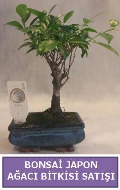 İthal Bonsai japon ağacı bitkisi satışı  Mardin İnternetten çiçek siparişi