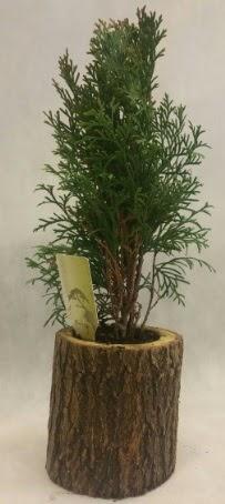 SINIRLI STOK Selvi Bonsai Doğal kütükte  Mardin İnternetten çiçek siparişi