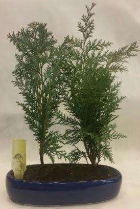 SINIRLI SAYIDA Selvi Ağacı bonsai ikili  Mardin çiçekçi telefonları