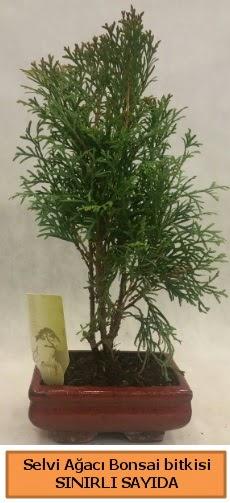 Selvi ağacı bonsai japon ağacı bitkisi  Mardin çiçek satışı