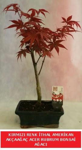 İTHAL ACER RUBRUM BONSAİ AĞACI  Mardin çiçek gönderme sitemiz güvenlidir