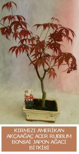 Amerikan akçaağaç Acer Rubrum bonsai  Mardin uluslararası çiçek gönderme