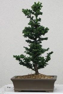Çam ağacı bonsai bitkisi satışı  Mardin çiçekçi telefonları