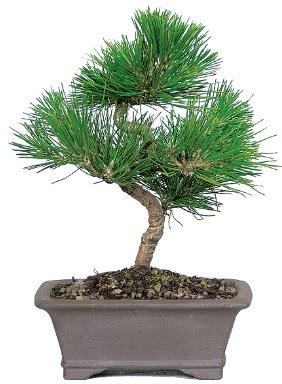 Çam ağacı bonsai japon ağacı bitkisi  Mardin çiçek gönderme