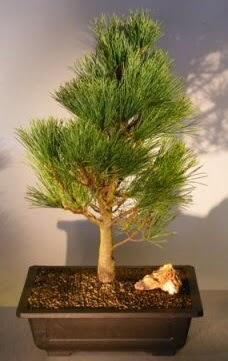 Çam ağacı japon ağacı bitkisi bonsai  Mardin çiçekçi telefonları