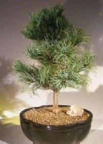 Çam ağacı bonsai bitkisi satışı  Mardin ucuz çiçek gönder