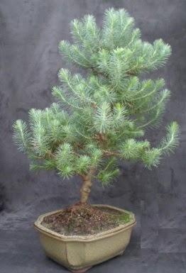 Bonsai çam ağacı japon ağacı bitkisi  Mardin çiçek gönderme sitemiz güvenlidir