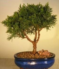 Servi çam bonsai japon ağacı bitkisi  Mardin çiçek yolla
