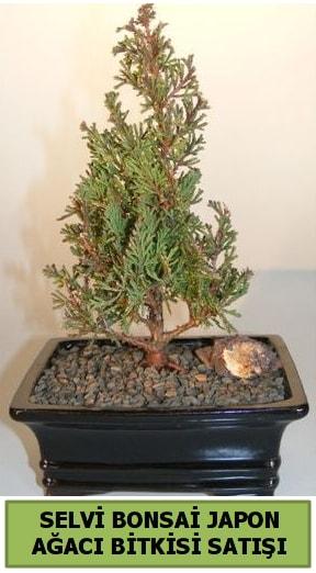 Selvi çam japon ağacı bitkisi bonsai  Mardin çiçekçi telefonları