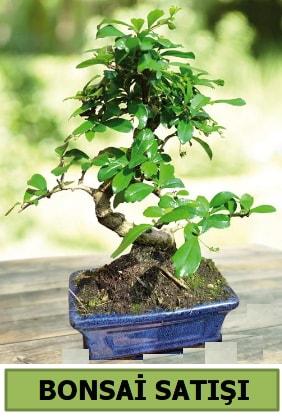 Çam bonsai japon ağacı satışı  Mardin çiçek satışı