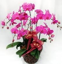 Sepet içerisinde 5 dallı lila orkide  Mardin ucuz çiçek gönder
