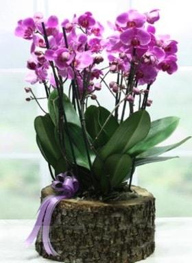 Kütük içerisinde 6 dallı mor orkide  Mardin ucuz çiçek gönder