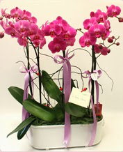 Beyaz seramik içerisinde 4 dallı orkide  Mardin ucuz çiçek gönder