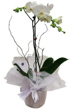 Tek dallı beyaz orkide  Mardin cicek , cicekci