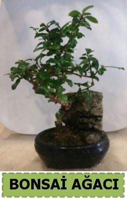 Bonsai ağacı japon ağacı satışı  Mardin hediye çiçek yolla