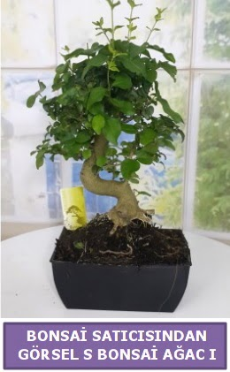 S dal eğriliği bonsai japon ağacı  Mardin çiçek satışı