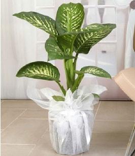 Tropik saksı çiçeği bitkisi  Mardin çiçek satışı