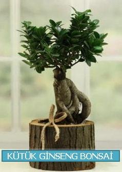 Kütük ağaç içerisinde ginseng bonsai  Mardin çiçek gönderme sitemiz güvenlidir