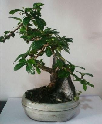S şeklinde ithal bonsai ağacı  Mardin çiçek yolla