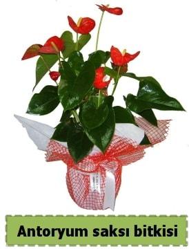 Antoryum saksı bitkisi satışı  Mardin çiçek , çiçekçi , çiçekçilik