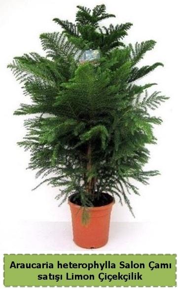 Salon Çamı Satışı Araucaria heterophylla  Mardin çiçek satışı