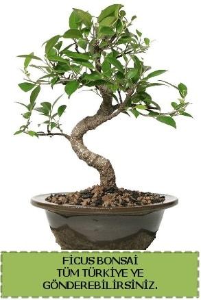 Ficus bonsai  Mardin çiçek gönderme sitemiz güvenlidir