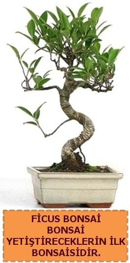 Ficus bonsai 15 ile 25 cm arasındadır  Mardin çiçek yolla