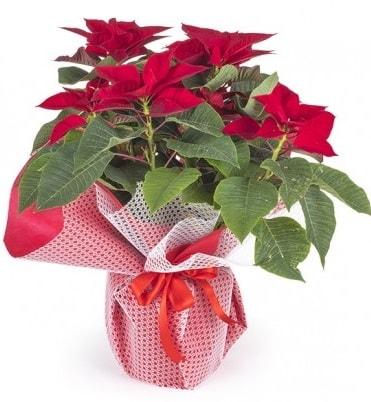 Atatürk çiçeği saksı bitkisi  Mardin çiçek gönderme sitemiz güvenlidir