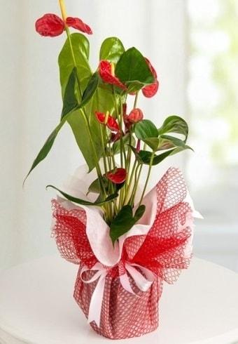 Anthurium Saksı Çiçeği  Mardin hediye çiçek yolla