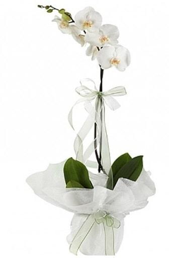 Tekli Beyaz Orkide  Mardin hediye çiçek yolla