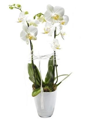 2 dallı beyaz seramik beyaz orkide saksısı  Mardin çiçek gönderme sitemiz güvenlidir