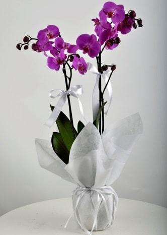 Çift dallı saksıda mor orkide çiçeği  Mardin çiçek siparişi vermek