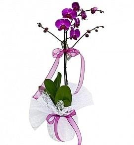 Tek dallı saksıda ithal mor orkide çiçeği  Mardin çiçekçiler