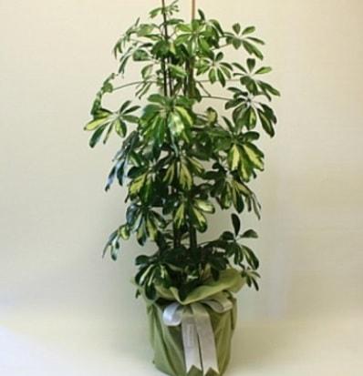 Şeflera salon bitkisi  Mardin çiçek gönderme