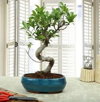 Amazing Bonsai Ficus S İthal  Mardin internetten çiçek siparişi