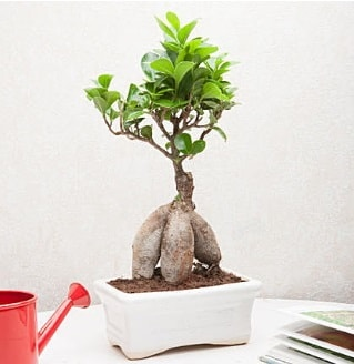 Exotic Ficus Bonsai ginseng  Mardin çiçek servisi , çiçekçi adresleri