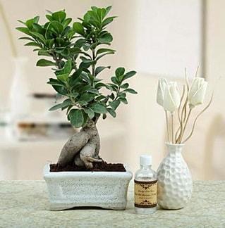 Ginseng ficus bonsai  Mardin çiçekçiler