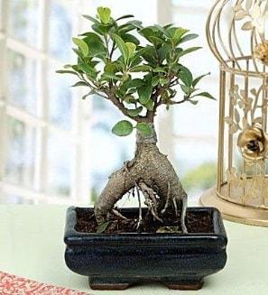 Appealing Ficus Ginseng Bonsai  Mardin anneler günü çiçek yolla