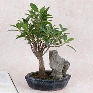 Japon ağacı Evergreen Ficus Bonsai  Mardin çiçek gönderme sitemiz güvenlidir