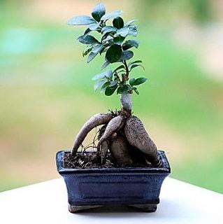 Marvellous Ficus Microcarpa ginseng bonsai  Mardin çiçek siparişi vermek