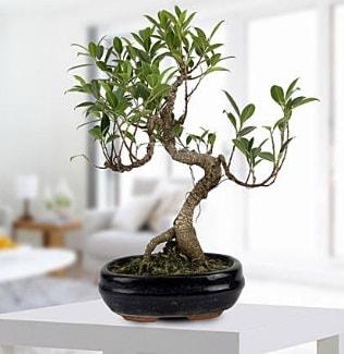 Gorgeous Ficus S shaped japon bonsai  Mardin yurtiçi ve yurtdışı çiçek siparişi