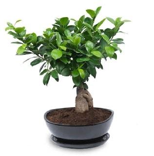 Ginseng bonsai ağacı özel ithal ürün  Mardin internetten çiçek satışı
