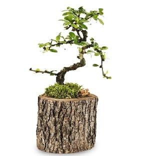 Doğal kütükte S bonsai ağacı  Mardin çiçek satışı