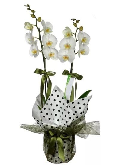Çift Dallı Beyaz Orkide  Mardin 14 şubat sevgililer günü çiçek