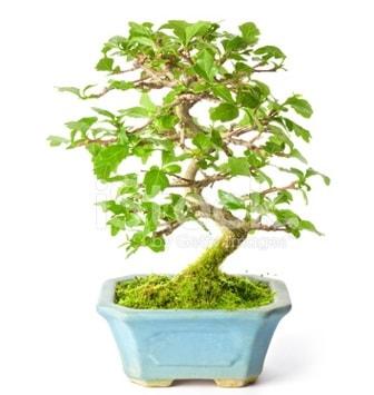 S zerkova bonsai kısa süreliğine  Mardin İnternetten çiçek siparişi